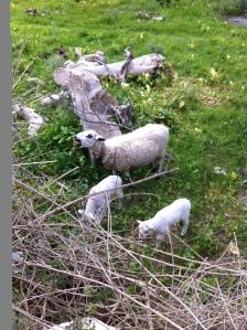 Some neighboring sheep